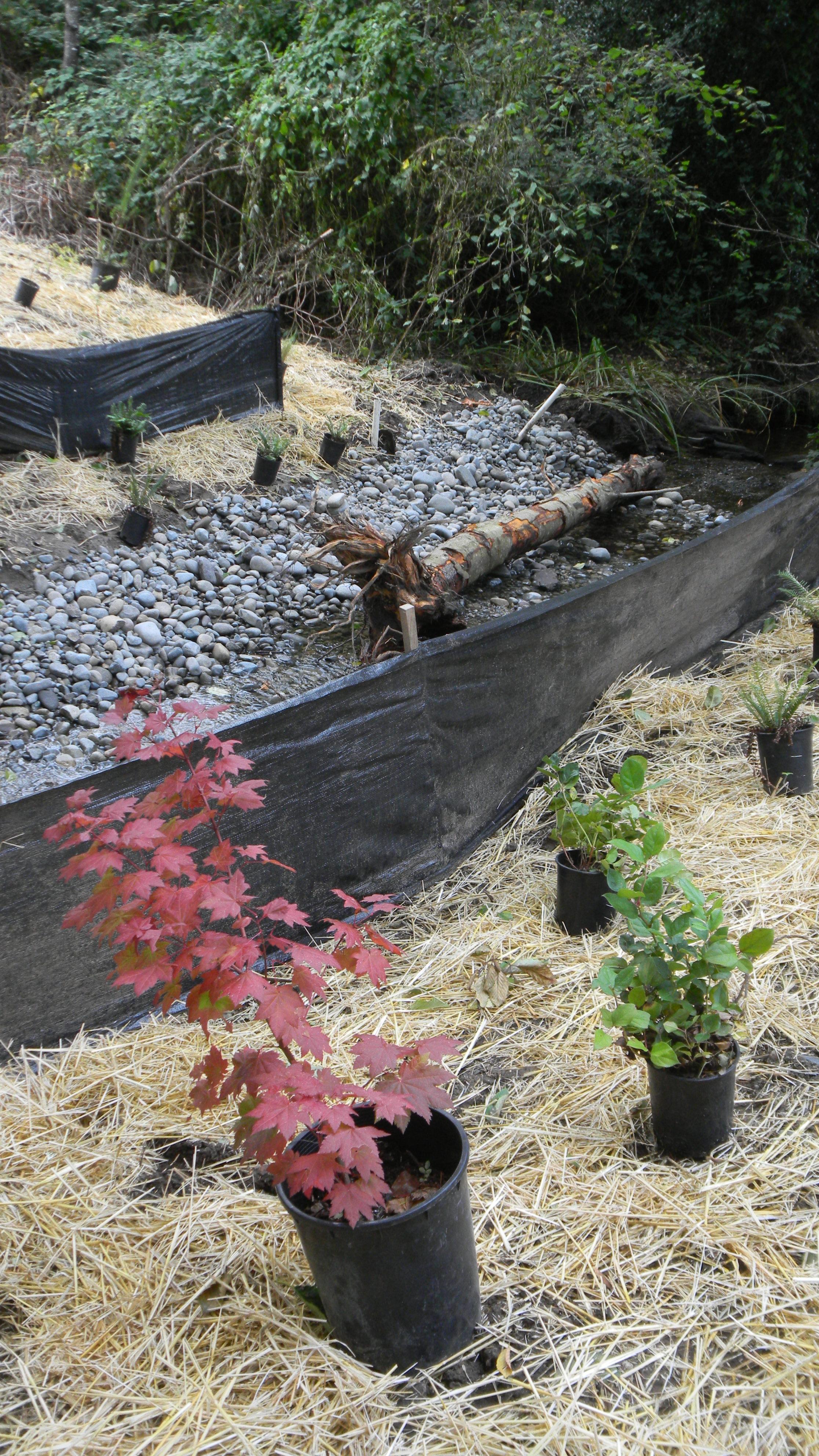 Backyard habitat grant stream planting