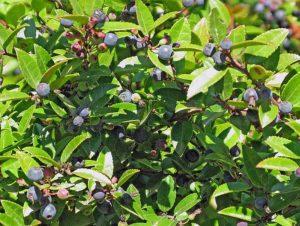 Evergreen Huckleberry (Photo: Kaldari)