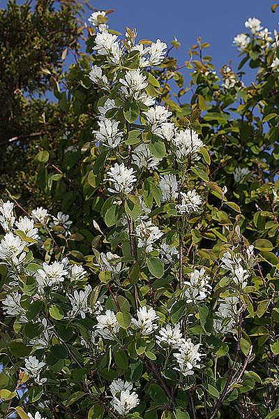Serviceberry (Photo: Wikimedia Commons -Photo by Walter Siegmund)