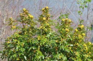 Tall Oregon Grape (Photo: Michael Korchonnoff-Kitsap CD)