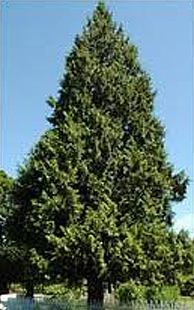Western Red Cedar (Photo: WACD-PMC, Express permission)