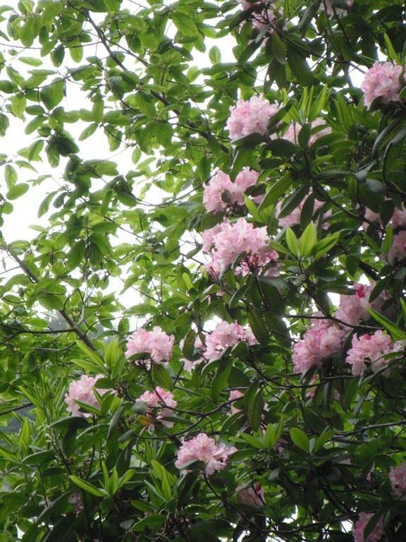Pacific Rhododendron, photo courtesy of Dana Kelley Bressette, nativeplantspnw.com.