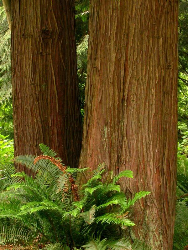 Western Red Cedar, photo courtesy of Ben Legler.
