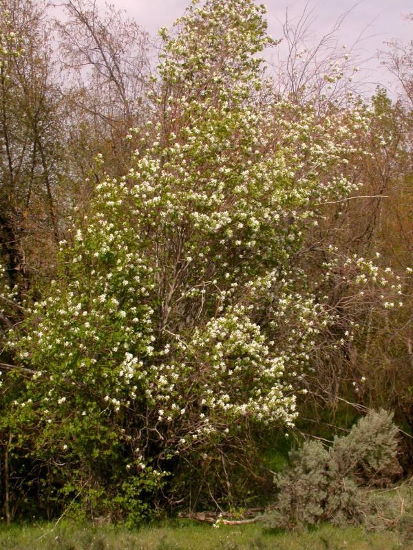Western Serviceberry, photo courtesy of Ben Legler.